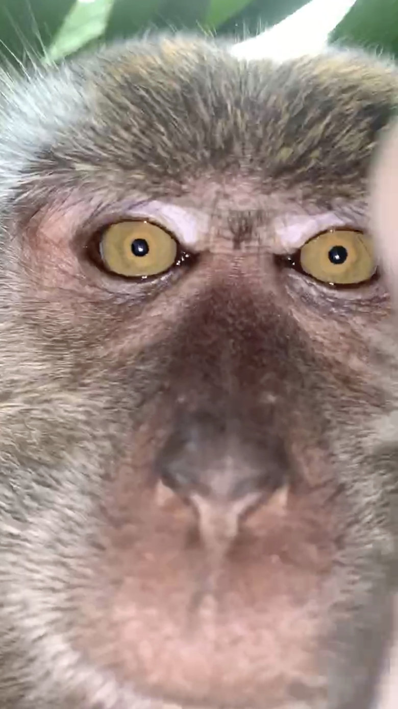 ADDS CLARIFICATION OF THE ANGLE OF THE IMAGE – This image made from video provided by Zackrydz Rodzi shows a monkey which took a selfie holding a cellphone upside down in Batu Pahat in the southern state of Johor, Malaysia on Saturday, Sept. 12, 2020. Rodzi, a Malaysian student whose cellphone was stolen while he was sleeping has tracked down the culprit: a monkey who took photo and video selfies with the device before abandoning it. (Zackrydz Rodzi via AP Photo)