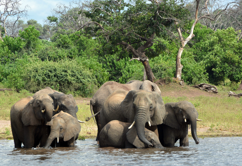 FILE – In this March 3, 2013 file photo, elephants drink from the Chobe National Park in Botswana. The sudden deaths of some 330 elephants in the northern part of the country earlier this year may have occurred because they drank water contaminated by toxic blue-green algae, the government announced Monday, Sept. 21, 2020. (AP Photo/Charmaine Noronha, File)