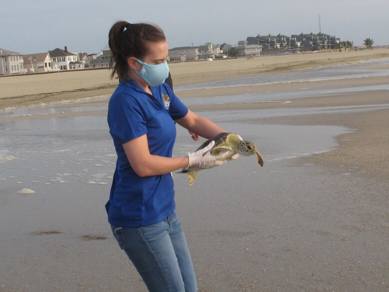 Hayley Hyams, a volunteer with Sea Turtle Recovery, carries a green sea turtle named Melbourne to the ocean in Point Pleasant Beach, N.J. on Tuesday, Sept. 15, 2020, as part of a program to release sick or injured turtles that have been restored to health. Melbourne was stranded Nov. 14, 2019, in Surf City N.J., where he was found found floating in the water too weak to swim due to cold stunning and a lung infection. (AP Photo/Wayne Parry)