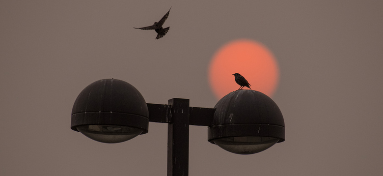 As the red sun colored by Western wildfires rises, a bird joins another on top of a light post near Walla Walla Community College in Walla Walla, Wash., Wednesday, Sept. 16, 2020. (Greg Lehman/Walla Walla Union-Bulletin via AP)