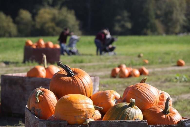 At Craven Farm, some of the farm's pumpkins sit in the sun ready to be chosen. The farm is open 9:30 a.m. to dusk, except Friday and Saturday, when it stays open to 10 p.m. (Greg Gilbert / The Seattle Times)