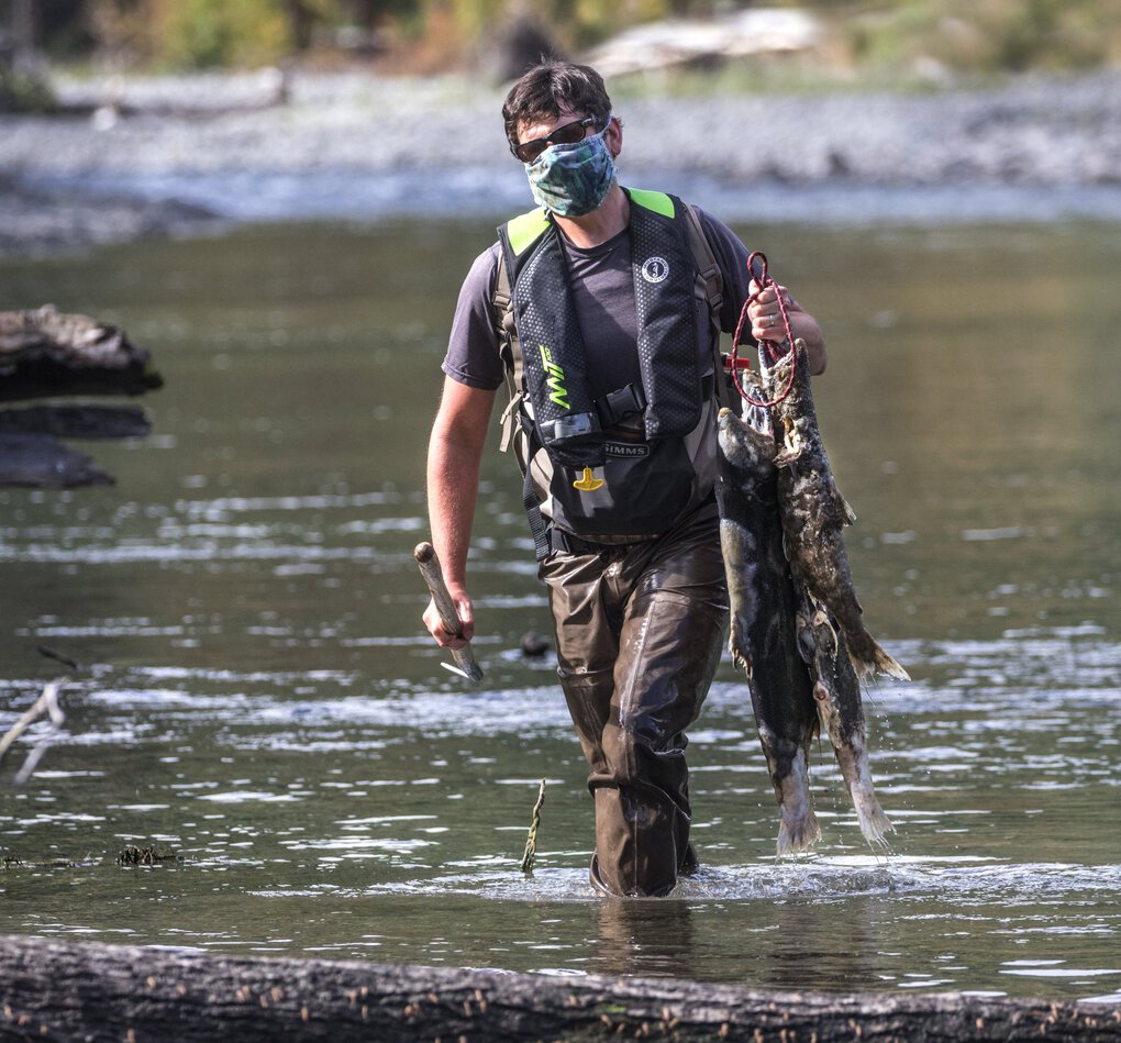 State biologist Joe Anderson wades along the Elwha riverbank with dead chinook that have spawned. He will collect samples from the carcasses. (Steve Ringman / The Seattle Times)