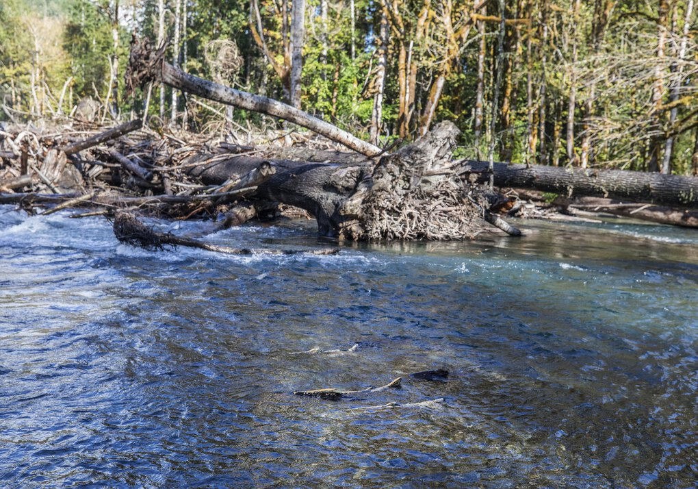 Chinook swim in a spawning area on the Elwha River. Here, the salmon will lay and fertilize their eggs before dying. Their carcasses provide important nutrients to the ecosytem. (Steve Ringman / The Seattle Times)