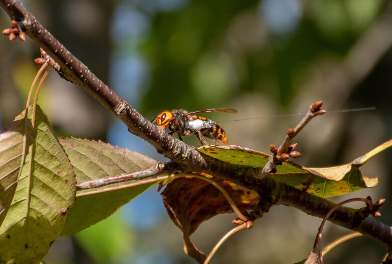 Researchers have located the first Asian giant hornet nest in the United States and will destroy it Saturday.  (Karla Sapp / Washington State Department of Agriculture)