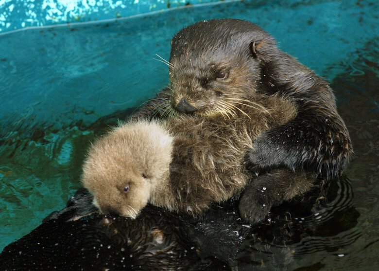 Seattle Aquarium sea otter Lootas cuddles a day-old pup on May 14, 2001. It was the second of three pups she birthed in her 23 years. (Greg Gilbert / The Seattle Times)