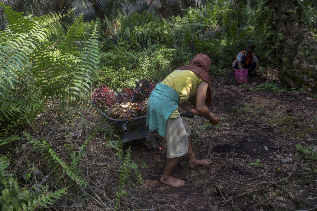 """A woman helps load palm oil fruit into a wheelbarrow, navigating barefoot through the rough jungle floor in Sumatra, Indonesia, Wednesday, Feb. 21, 2018. Women are often """"casual"""" workers, hired day to day, with their jobs and pay never guaranteed. Men receive nearly all the full-time permanent positions, harvesting the heavy, spiky fruit bunches and working in processing mills. (AP Photo / Binsar Bakkara)"""