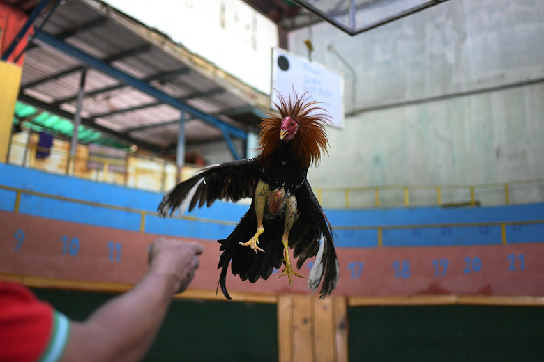 """Angel Salamanca trains a rooster at the """"Club Gallistico Caracas"""" cockfighting club in Caracas, Venezuela, Sunday, Nov. 15, 2020. Cockfighting arenas and clubs have shut down since the start of the new coronavirus pandemic months ago, but owners have to keep incurring in the expense of upkeeping and training their birds in the hope that the fights might one day reopen. (AP Photo/Matias Delacroix)"""