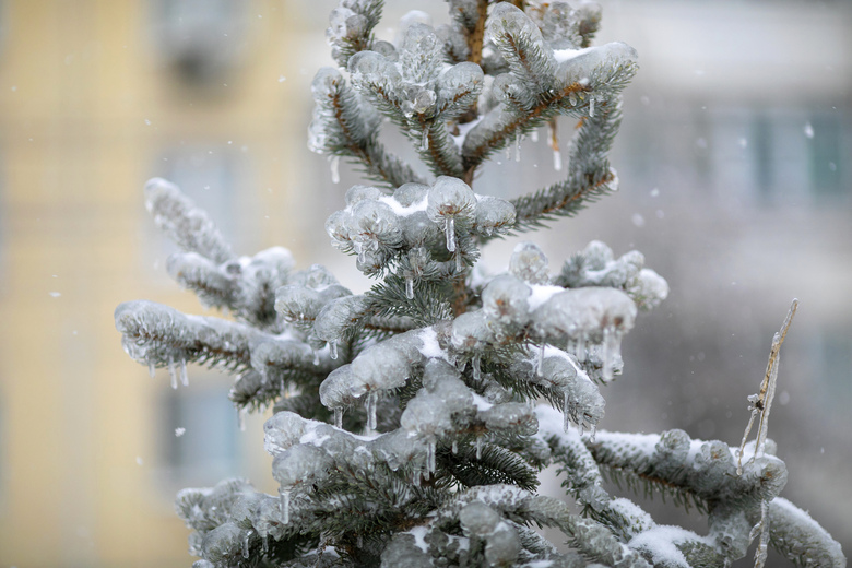 A spruce tree branches covered in ice are seen after an ice storm in a street in Vladivostok, Russia, Friday, Nov. 20, 2020. Thousands of people in Russia's Far East region of Primorye remained without heating or electricity on Wednesday, Nov. 25, 2020 as local authorities and emergency services wrestled with the consequences of an unprecedented ice storm that hit the region last week. (AP Photo/Aleksander Khitrov)