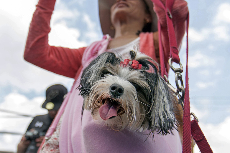 Aja, a Biewer Terrier, watching the DockDogs competition, from a jacket pocket of her owner Charli Yarbrough, during the annual Pet Lovers' Extravaganza in Virginia Beach, Va., in 2017.   (Bill Tiernan/The Virginian-Pilot via AP, File)