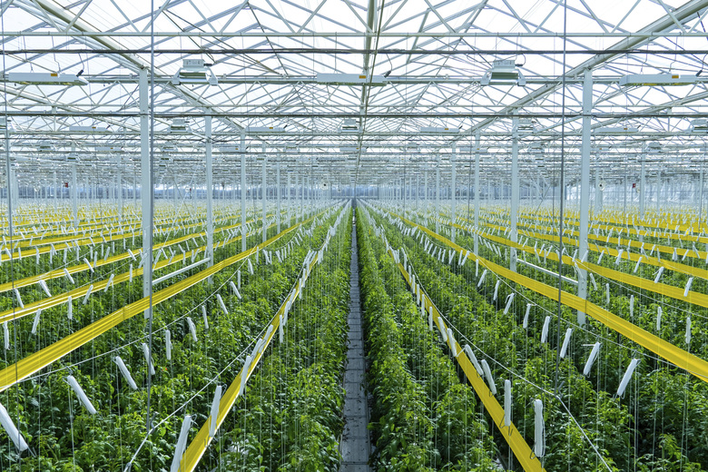 Tomatoes being grown in A Harvest's Morehead, Ky. facility.  Experts say tech advances from the cannabis industry and lower-cost, energy efficient LED bulbs are helping fuel growth, along with increasing customer demand for sustainable food. (AppHarvest via AP)