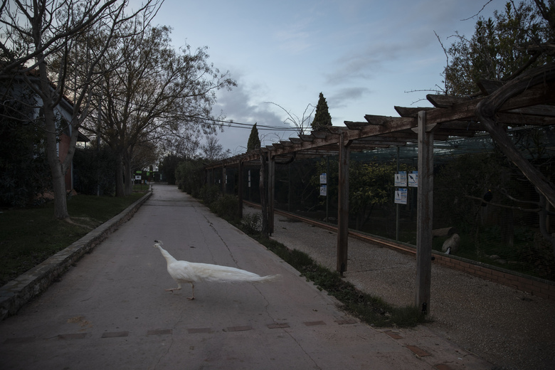 A white peacock walks across a pathway in the Attica Zoological Park in Spata, near Athens, on Thursday, Jan. 21, 2021. After almost three months of closure due to COVID-19, Greece's only zoo could be approaching extinction: With no paying visitors or state aid big enough for its very particular needs, it still faces huge bills to keep 2,000 animals fed and healthy. (AP Photo/Petros Giannakouris)