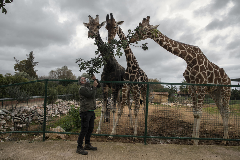 Zoo curator Adonis Balas feeds three giraffes at the Attica Zoological Park in Spata, near Athens, on Tuesday, Jan. 26, 2021. After almost three months of closure due to COVID-19, Greece's only zoo could be approaching extinction: With no paying visitors or state aid big enough for its very particular needs, it still faces huge bills to keep 2,000 animals fed and healthy. (AP Photo/Petros Giannakouris)