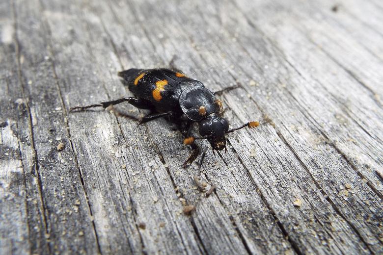 A Nicrophorus orbicollis beetle in Georgia. Burying beetles scout for a dead mouse or bird, dig a hole and bury it, pluck its fur or feathers, roll its flesh into a ball and cover it in goop _ all to feed their future offspring. Now scientists think that goo might do more than just slow down decay. It also appears to hide the scent of the decomposing bounty and boosts another odor that repels competitors. (Vanessa R. Lane via AP)