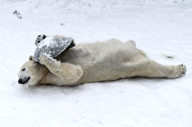 Two-year-old polar bear Hertha plays with a plastic bowl in the snow at the zoo in Berlin, Germany, Tuesday, Feb.9, 2021. (Kira Hofmann/dpa via AP)