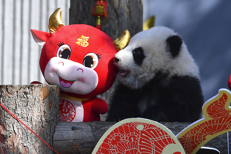 A baby panda climbs on a display for the upcoming Lunar New Year of the Ox at the China Conservation and Research Center for the Giant Panda at the Wolong Nature Reserve in southwestern China's Sichuan province, Wednesday. Ten baby pandas made their debut in China's leading panda reserve in the country's southwest on Wednesday morning ahead of the Lunar New Year. (Chinatopix via AP)