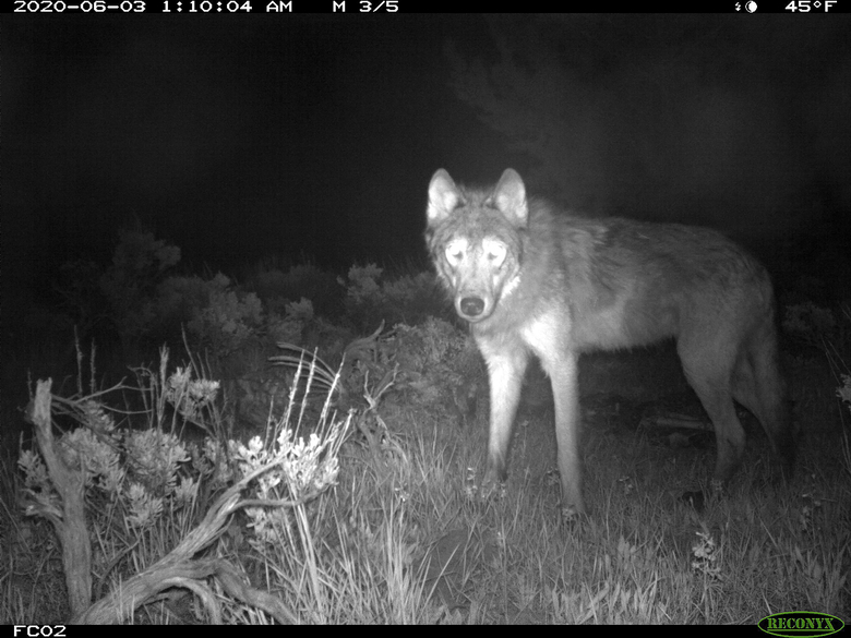 FILE – This June 3, 2020, file image released by Colorado Parks and Wildlife shows a wolf on a state game camera in Moffat County, Colo. Colorado wildlife officials say the first gray wolf pups since the 1940s have been spotted in the state. Gov. Jared Polis' office said in a news release Wednesday, June 9, 2021, that a state biologist and district wildlife manager each spotted the litter of at least three wolf pups over the weekend. (Colorado Parks and Wildlife via AP, File)