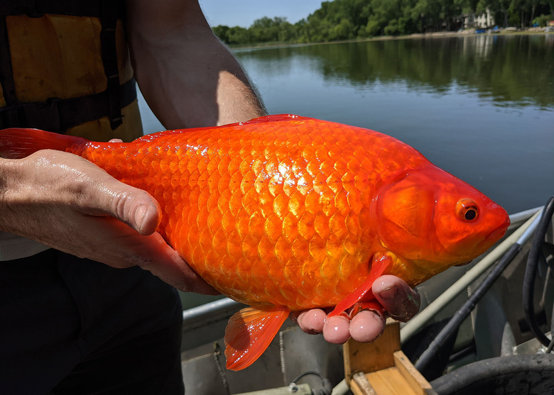 One of several large goldfish pulled from a lake near Minneapolis. Officials nationwide are warning that the household pets are dangerously invasive when released into the wild. (City of Burnsville)