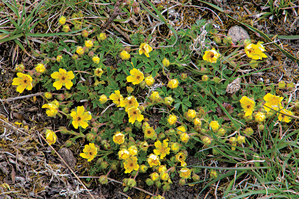 If there are plants in your garden that haven't survived this summer's extreme temperatures and need to be replaced, take this opportunity to introduce new heat and drought tolerant species, like the shrub cinquefoil.  (Getty Images)