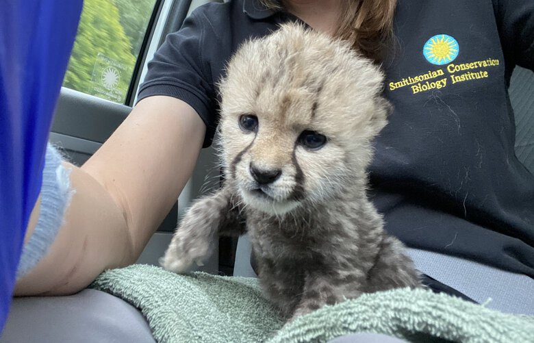 A baby cheetah born in September at the Smithsonian Conservation Biology Institute in Front Royal, Va., was abandoned by its mother. It was recently adopted by a new cheetah family in Oregon. MUST CREDIT: Smithsonian Conservation Biology Institute